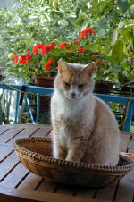 A typical Cypriot Cat - inteligent, demanding yet self sufficient and dislikes dogs profoundly